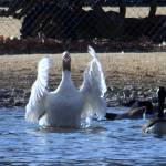 """Hi Everybody.. Waving White Goose"" by PhotoArtbyAnjanette"