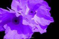 Purple Poppies