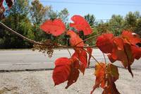 Autumn's Glowing Red Leaves Photo