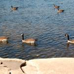 """One, Two, Three Swimming Geese Photo"" by catnip009"