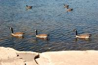 One, Two, Three Swimming Geese Photo