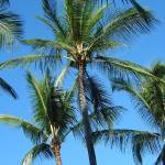 """Island Palms I"" by kozakoff"