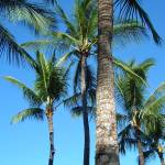 """Island Palms II"" by kozakoff"