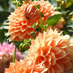 """Favorites Orange Floral Dahlia Flowers Botanical"" by BasleeTroutman"