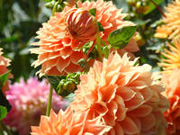 Favorites Orange Floral Dahlia Flowers Botanical