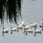 """""""Leading the flock"""" by MyTreasuredImages"""