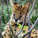 """African Serval in the bush"" by MyTreasuredImages"
