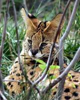 African Serval in the bush