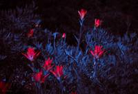 Scarlet Paintbrushes (2A)