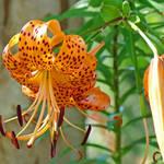 """Orange Lily Flowers art prints Botanical canvas"" by BasleeTroutman"