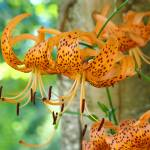 """Floral Canvas prints Orange Tiger Lily Flowers"" by BasleeTroutman"