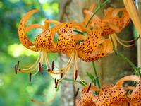 Floral Canvas prints Orange Tiger Lily Flowers