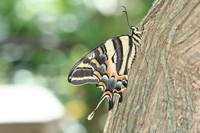 Three tailed tiger swallowtail