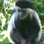 """Contemplating Colobus"" by GhotiEStudio"