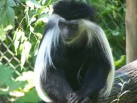 Contemplating Colobus