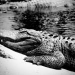 """Alligator"" by photoworld78"