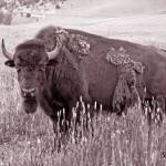 """bison"" by artfilmusic"