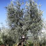 """Olive tree"" by daniella"