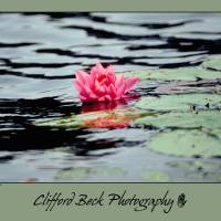 Water Lilly Art Prints & Posters by Clifford Beck