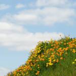 """""""Poppy Flower art prints Meadow Hillside Poppies"""" by BasleeTroutman"""