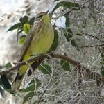 """Warbler in Spanish Moss-ladden Tree"" by marshacarson"