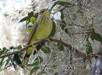 Warbler in Spanish Moss-ladden Tree