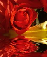 Sailing Red Rose_new