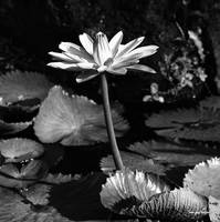 Water Lily Fine Art