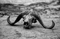African Bufallo Skull : Death in Africa