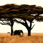 """Elephant Under Acacia"" by SanjayNayar"