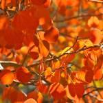 """""""Aspens in Fall"""" by jebrunner58"""