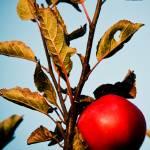 """""""Apple"""" by C_Rivait"""