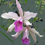 """Two Sisters - Backyard Orchids"" by marshacarson"