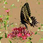 """Swallowtail on Red Penta"" by marshacarson"