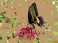 Swallowtail on Red Penta