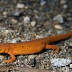 """Red Spotted Newt"" by BrendanReals"