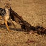 """Jackal Feast"" by thedannybadgerphotography"