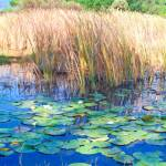 """""""Lily Pads and Reeds"""" by mdarrah"""