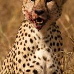 """Cheetah Feast"" by thedannybadgerphotography"
