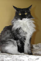 Smoke-Colored Maine Coon