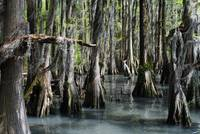 North Carolina Cyprus Swamp