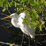 """Great Egret Perched in Florida Mangrove"" by marshacarson"
