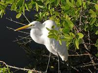 Great Egret Perched in Florida Mangrove