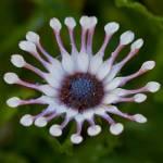 """Geranium Palmatum"" by Kittyhawk25"
