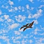 """""""PELICANS IN FLIGHT"""" by AZCOYOTE"""