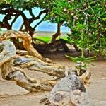 """""""WEATHER BEATEN TREE"""" by AZCOYOTE"""