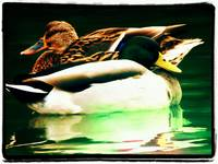 Ying and Yang Mallards