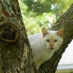 """Beige Cat watching from tree crotch perch"" by MeMeBev"