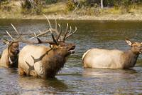 Bull Elk Bugling during fall rut in Estes Park CO