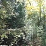 """Autumn Pine"" by KatesGrace"